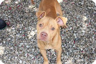 Pit Bull Terrier Mix Dog for adoption in Greensboro, North Carolina - Cheeseburger