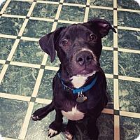 Adopt A Pet :: Spanky - PORTLAND, ME