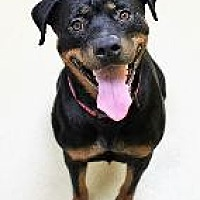 Rottweiler Dog for adoption in Little Rock, Arkansas - HOLLY