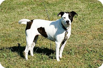 English Pointer Mix Dog for adoption in Columbia, Tennessee - Dixie