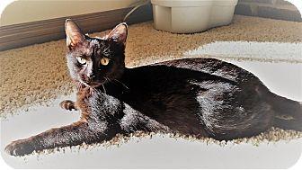Domestic Shorthair Kitten for adoption in Edmond, Oklahoma - Georgie