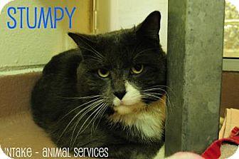 Domestic Shorthair Cat for adoption in Hamilton, Ontario - Stumpy