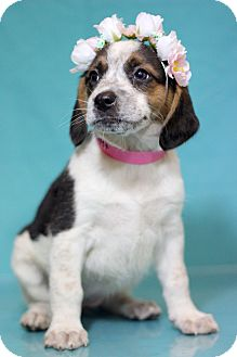 Hound (Unknown Type)/Beagle Mix Puppy for adoption in Waldorf, Maryland - Jackpot