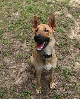 Shepherd (Unknown Type)/Belgian Malinois Mix Dog for adoption in Nesbit, Mississippi - Valentine
