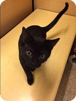 Domestic Shorthair Kitten for adoption in Warrenton, Missouri - Mary Kate