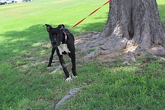 Pit Bull Terrier Mix Dog for adoption in Odessa, Texas - A13 Comet