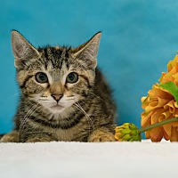 Domestic Shorthair Cat for adoption in Houston, Texas - Omega