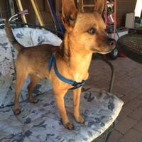 Adopt A Pet :: Moose - Tucson, AZ