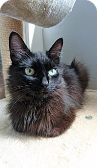 Domestic Mediumhair Cat for adoption in Vancouver, British Columbia - Abby