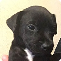 Adopt A Pet :: Chase - Wichita Falls, TX