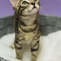 Adopt A Pet :: HENRIETTA-BROWN BEAUTY - Plano, TX