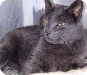 Russian Blue Cat for adoption in Grass Valley, California - Blue Kitty Cat