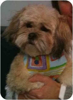 Shih Tzu Dog for adoption in Detroit, Michigan - Dee-Adopted
