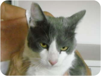 Domestic Shorthair Cat for adoption in Brownsville, Texas - Benny