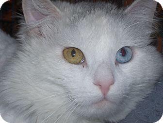 Domestic Longhair Cat for adoption in Medford, Massachusetts - Spirit