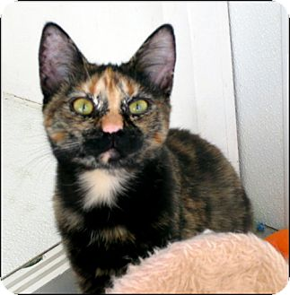 Domestic Shorthair Cat for adoption in Colville, Washington - Bree and Siblings