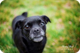 Chihuahua/Pug Mix Dog for adoption in West Richland, Washington - Spygirl