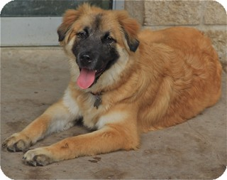 German Shepherd Dog/Retriever (Unknown Type) Mix Dog for adoption in Norwalk, Connecticut - Ranger - sweetheart