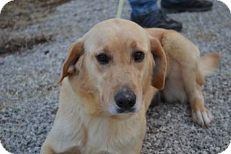 Golden Retriever/Labrador Retriever Mix Dog for adoption in Mt Sterling, Kentucky - Serena