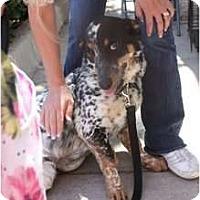 Adopt A Pet :: Magnum - Arlington, TX