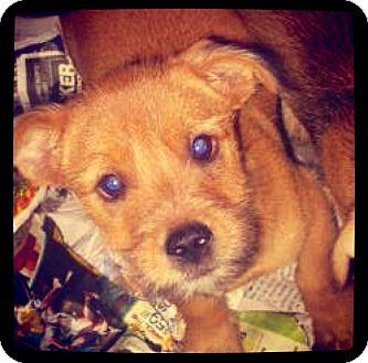 Schnauzer (Standard) Mix Puppy for adoption in Grand Bay, Alabama - Lizzy