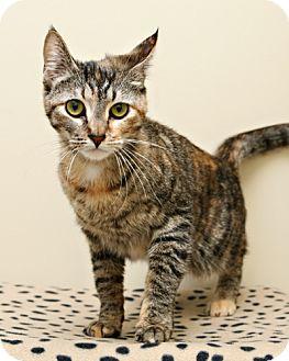 Domestic Shorthair Cat for adoption in Bellingham, Washington - Connie