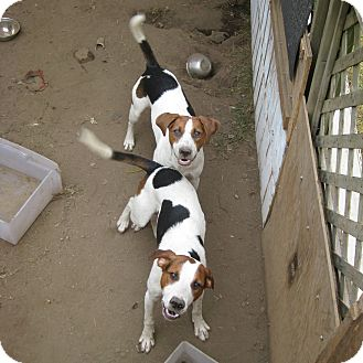 Foxhound Mix Dog for adoption in Carlsbad Springs, Ontario - Young Hounds-Courtesy Listing
