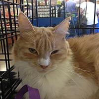Domestic Longhair Cat for adoption in San Ramon, California - Katie