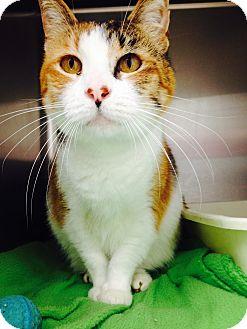 Domestic Shorthair Cat for adoption in Newport Beach, California - Cali