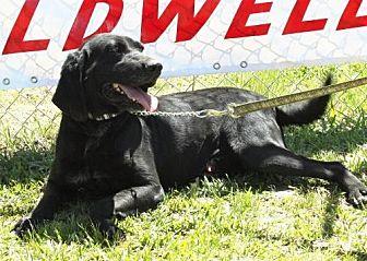 Labrador Retriever Mix Dog for adoption in Grayson, Louisiana - Dan