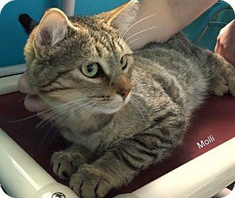 Domestic Shorthair Cat for adoption in Hibbing, Minnesota - Molli