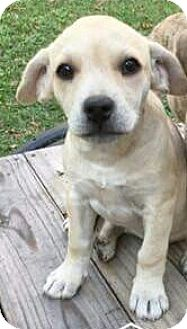 Beagle/Boxer Mix Puppy for adoption in Hammonton, New Jersey - Posey