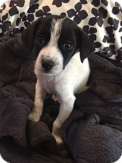 Labrador Retriever/Collie Mix Puppy for adoption in New Oxford, Pennsylvania - Serra