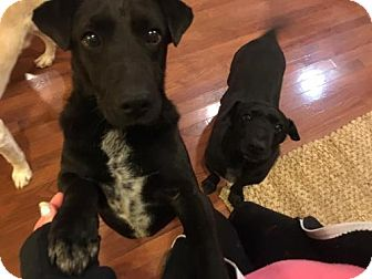 Patterdale Terrier (Fell Terrier) Dog for adoption in Island Heights, New Jersey - Sammy