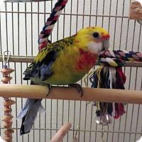 Adopt A Pet :: Dude - St. Louis, MO