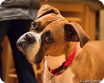 Boxer Mix Dog for adoption in Wethersfield, Connecticut - Dolce