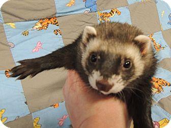 Ferret for adoption in Carlton, Oregon - Nibbler