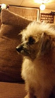 Poodle (Miniature) Mix Dog for adoption in springtown, Texas - Hannah