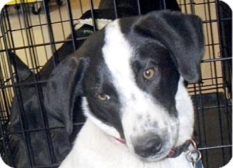 Pointer/Labrador Retriever Mix Dog for adoption in Guthrie, Oklahoma - Chez