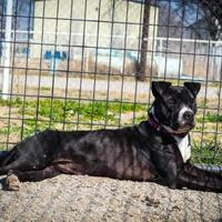 Adopt A Pet :: Faith - justin, TX