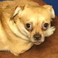 Chihuahua Mix Dog for adoption in Wellsville, New York - Shyanne