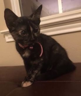 Domestic Shorthair/Domestic Shorthair Mix Cat for adoption in Garland, Texas - Pixie