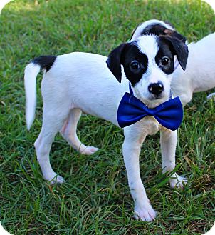 Jack Russell Terrier/Rat Terrier Mix Puppy for adoption in Shreveport, Louisiana - Klark