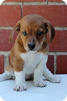 Basset Hound/Beagle Mix Puppy for adoption in Waldorf, Maryland - Cali