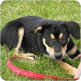 Labrador Retriever/Rottweiler Mix Puppy for adoption in Brodheadsville, Pennsylvania - Nemo