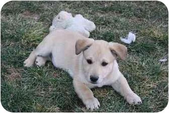 Labrador Retriever/Chow Chow Mix Puppy for adoption in California City, California - 5 Lab/Chow Babies