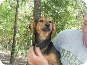 Labrador Retriever/Miniature Pinscher Mix Dog for adoption in Pointblank, Texas - Woody