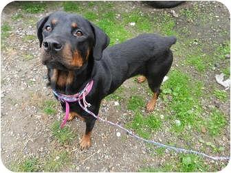 Rottweiler Mix Dog for adoption in Frederick, Pennsylvania - Cassie