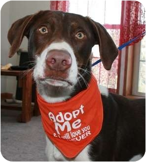 German Shorthaired Pointer/Husky Mix Dog for adoption in Barron, Wisconsin - Quinn