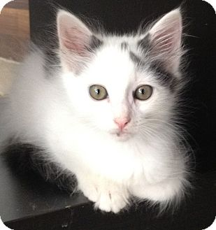 Domestic Longhair Kitten for adoption in Los Angeles, California - Milton- Fluffy Boy
